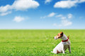 Jack russel green lawn Royalty Free Stock Image