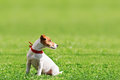 Jack russel on green lawn Stock Photography