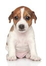 Jack Russel puppy (one month) Royalty Free Stock Images
