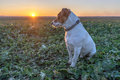 Jack russel on rape meadow Royalty Free Stock Photography