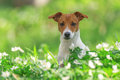 Jack russel on spring forest Stock Photos