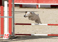 Jack russel terrier in agility portrait of a purebred a competition of Royalty Free Stock Photos