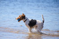 Jack Russel Terrier with a ball at the beach Royalty Free Stock Photography