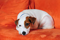 Jack russel terrier a dog lying on a sofa Royalty Free Stock Photography