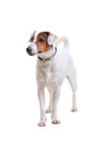 Jack Russel Terrier dog portrait Royalty Free Stock Images