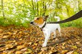 Dog running or walking in autumn Royalty Free Stock Photo