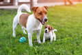 Jack russell dogs playing on grass meadow. Puppy and adult dog outside in the park, summer. Royalty Free Stock Photo