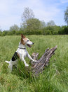 Jack russell explorer a dog stands against a stump in a field Royalty Free Stock Photos