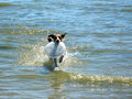 Jack Russell Fetch Royalty Free Stock Photos