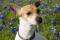 Jack Russell Mix and Bluebonnets Royalty Free Stock Photos