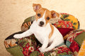 Jack Russell puppy in chair Royalty Free Stock Image