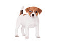 Jack russell puppy month old on white isolated Royalty Free Stock Photo