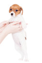 Jack russell puppy month old on white isolated Royalty Free Stock Photography