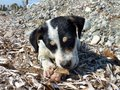 Jack russell puppy playing on the beach Royalty Free Stock Photos