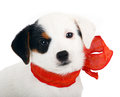 Jack russell puppy with red cockade on white background Stock Photo