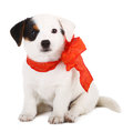 Jack russell puppy with red cockade on white background Stock Image