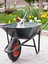 Jack russell sitting in wheelbarrow the garden Stock Photo