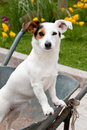 Jack russell sitting in wheelbarrow the garden Stock Photography