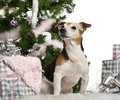 Jack Russell Terrier, 10 old, sitting Stock Photography