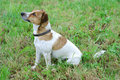 Jack Russell Terrier Stock Photos