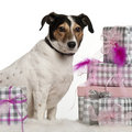 Jack Russell Terrier, 6 years old Royalty Free Stock Photography