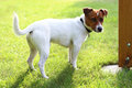 Jack Russell terrier Royalty Free Stock Photo