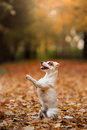 Jack Russell Terrier dog with leaves. gold and red color, walk in the park Royalty Free Stock Photo