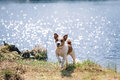 Jack Russell Terrier dog playing in water Royalty Free Stock Photo