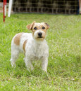 Jack russell terrier a front view of a small white and tan rough coated dog standing on the grass looking very happy it is known Stock Photos