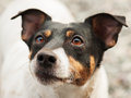 Jack russell terrier nice young Stock Photo