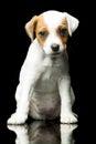 Jack russell terrier parson weeks puppy indoor studio shot Stock Images