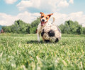 Jack Russell Terrier play with big old ball Royalty Free Stock Photo
