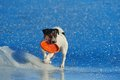Jack russell terrier playing with flying disc on the sea ice Royalty Free Stock Image