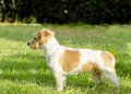 Jack russell terrier a profile view of a small white and tan rough coated dog standing on the grass looking very happy it is known Royalty Free Stock Photo