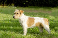 Jack russell terrier a profile view of a small white and tan rough coated dog standing on the grass looking very happy it is known Royalty Free Stock Image