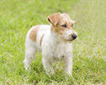 Jack russell terrier a profile view of a small white and tan rough coated dog standing on the grass looking very happy it is known Stock Photography