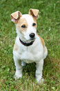 Jack russell terrier puppy outdoors Stock Images
