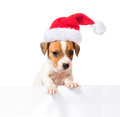 Jack Russell Terrier puppy in red santa cap