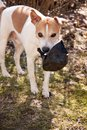 Jack Russell Terrier is resting in the countryside