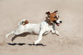 Jack russell terrier run Royalty Free Stock Photo