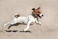 Jack Russell Terrier Run
