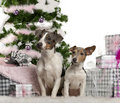 Jack Russell Terrier, sitting with Christmas Stock Photography