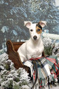 Jack Russell Terrier in a Sleigh Stock Photos