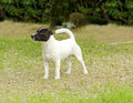 Jack russell terrier a small black and white rough coated dog standing on the grass looking very happy it is known for being Stock Images