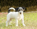 Jack russell terrier a small white black and gray rough coated dog standing on the grass looking very happy it is known for being Stock Images