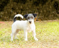 Jack russell terrier a small white black and gray rough coated dog standing on the grass looking very happy it is known for being Royalty Free Stock Photos
