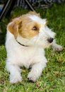 Jack russell terrier a small white and tan rough coated dog sitting on the grass looking happy it is known for being confident Royalty Free Stock Photography