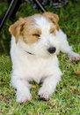 Jack russell terrier a small white and tan rough coated dog sitting on the grass looking happy it is known for being confident Royalty Free Stock Image