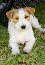 Jack russell terrier a small white and tan rough coated dog sitting on the grass looking happy it is known for being confident Stock Image
