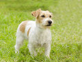 Jack russell terrier a small white and tan rough coated dog standing on the grass looking very happy it is known for being Royalty Free Stock Images